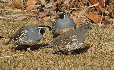 California quail visiting our yard in Yakima