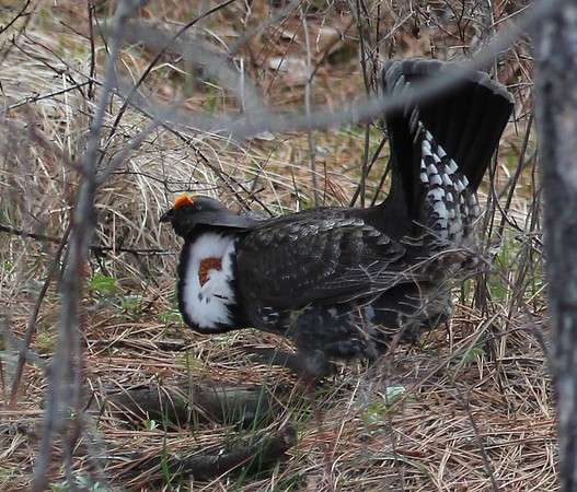 Sooty Grouse, Wenas Area, 2013