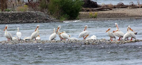 More Greenway Pelicans