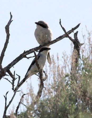 Loggerhead Shrike Pair