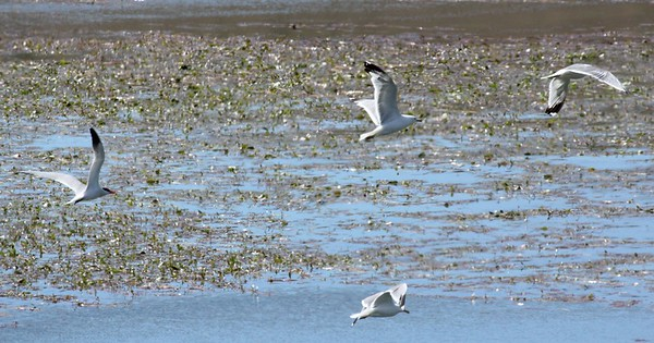 Caspian Tern (on left) with California Gulls