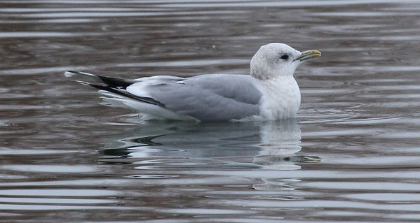 Mew Gull - a rare visitor to Yakima- at the Costco pond in Union Gap