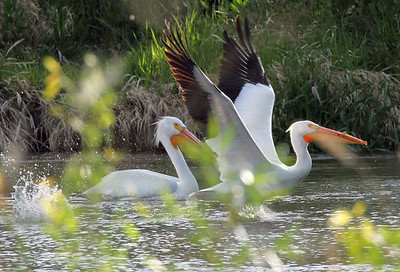 American White Pelicans, Yakima Greenway, May 2014