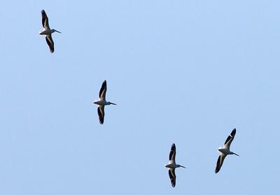 American White Pelican Flyover