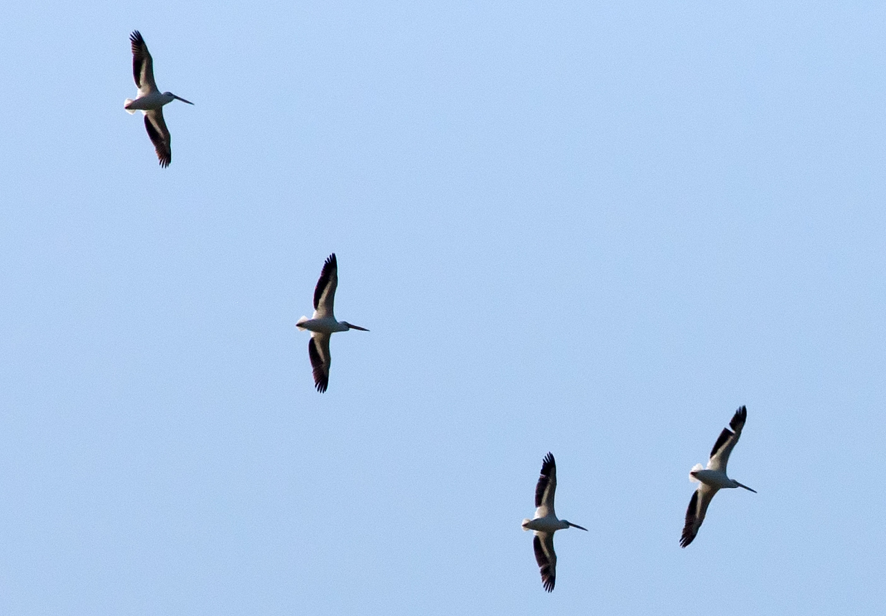 American White Pelican Flyover