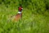 Birds, upland game birds, pheasants, wildlife