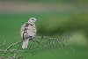 Birds, doves, Eurasian collared dove, wildlife