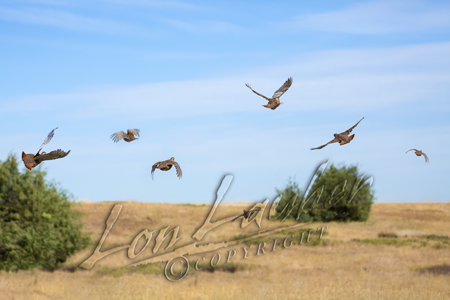 Birds, upland game birds, Hungarian partridge
