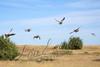 Birds, upland game birds, Hungarian partridge