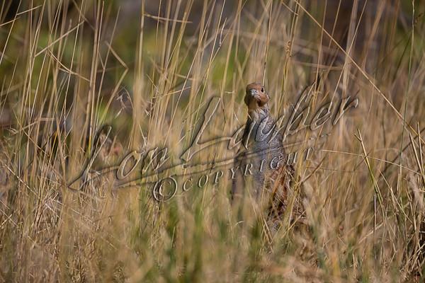 Birds, upland game birds, gray partridge, Hungarian partridge