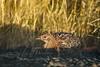 Birds, upland game birds, hen pheasant