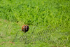 Upland game birds, ringneck pheasant, wildlife