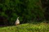 Birds, upland game birds, California quail, wildlife