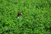 Birds, upland game birds, ringneck pheasant, wildlife