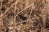 Birds, upland game birds, bobwhite quail