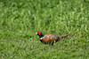 Birds, upland game birds, ringneck pheasant, wildlife
