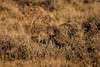 Birds, upland game birds, sage grouse wildlife
