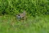 Birds, upland game birds, quail, California quail, wildlife