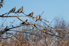 Birds, upland game birds, morning doves