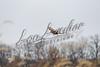 Birds, upland game birds, pheasants