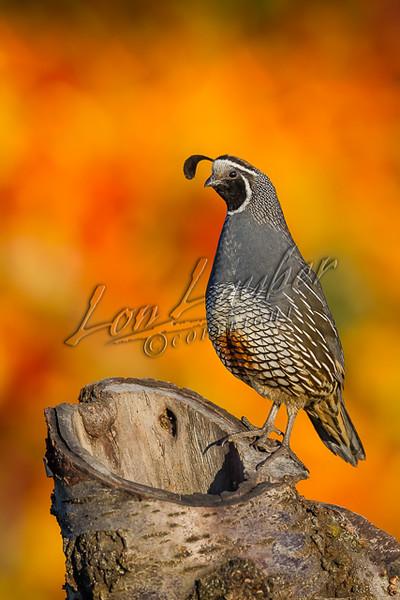 Birds, upland game birds, California or Valley quail, Callipepla californica,