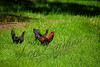 Birds, domestic chicken/rooster