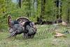 Birds, wild turkeys, wildlife, toms with decoy