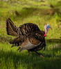 Birds, turkeys, wild turkeys, spring