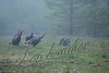 Birds, wild turkeys, wildlife