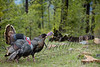 Birds, wild turkey, wildlife, tom with decoy