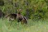 Birds, hen turkey, attacking decoy