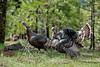 Birds, wild turkeys, wildlife, toms