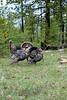 Birds, wild turkey, wildlife, tom with decoy
