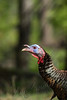 Birds, wild turkey, jake, wildlife,