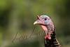 Birds, wild turkey, jake, wildlife,
