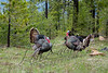 Birds, wild turkeys, wildlife, tom with decoy