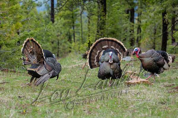 Birds, wild turkeys, wildlife, toms with decoy