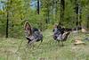 Birds, wild turkeys, wildlife, tom with decoy