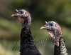 Birds, wild turkey, jakes, wildlife,