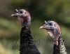 Birds, wild turkey, jakes, wildlife,