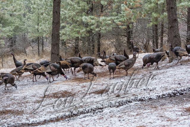 Birds, wild turkeys