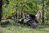 Birds, wild turkeys, wildlife, toms