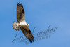 Birds, raptors, osprey, flying, wildlife