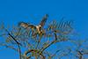 Birds, raptors, red-tailed hawk