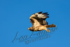 Birds, raptors, red tail hawk, flying, wildlife