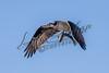 Birds, raptors, osprey, wildlife