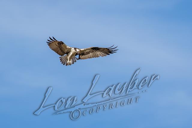 Birds, raptors, osprey, flying, wildlife