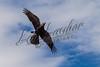 Ravens, birds