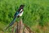 Birds, black billed magpie, wildlife