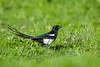 Birds, magpie, wildlife